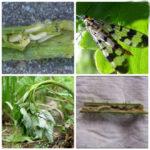 Малинная муха и её личинка