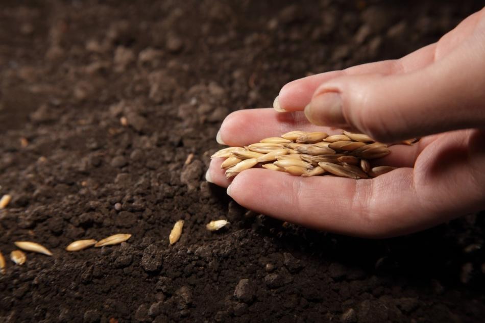 Посев семян огурца