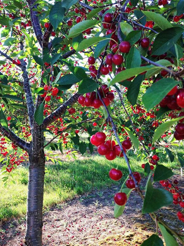 Дерево вишни с плодами