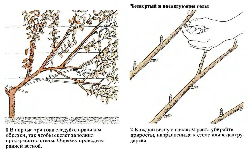 Формирование веерной кроны