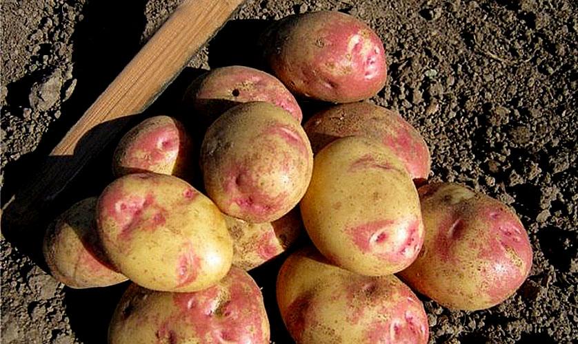 Клубни картофеля сорта Пикассо