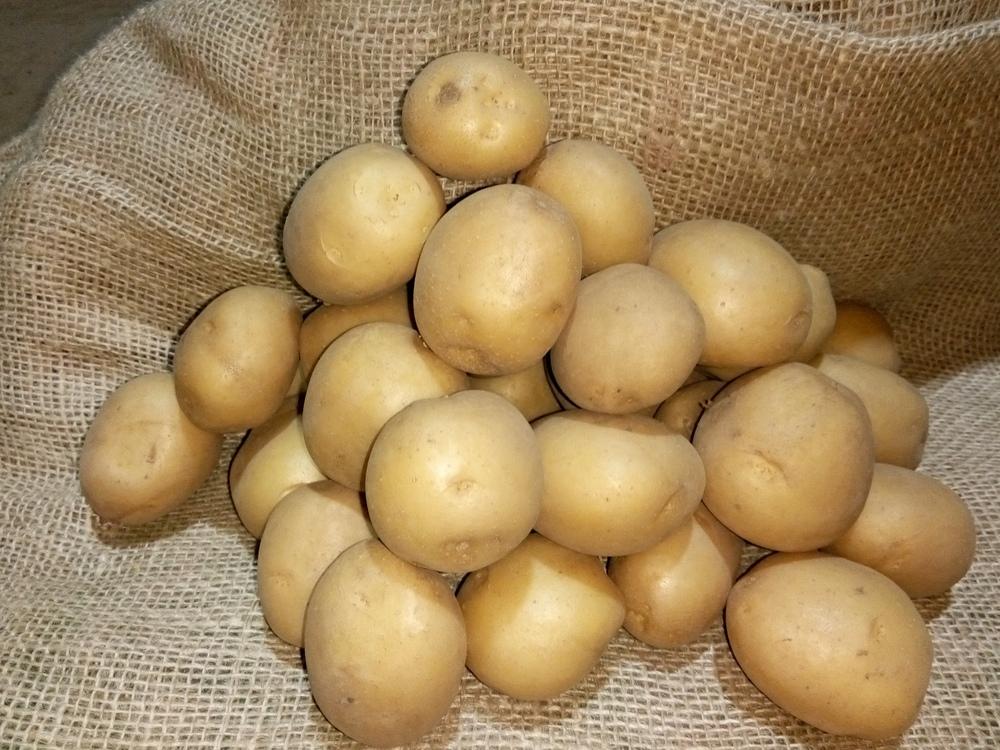 Клубни картофеля сорта Ривьера описание фото