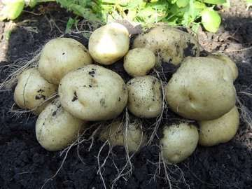 Куст картофеля Ривьера