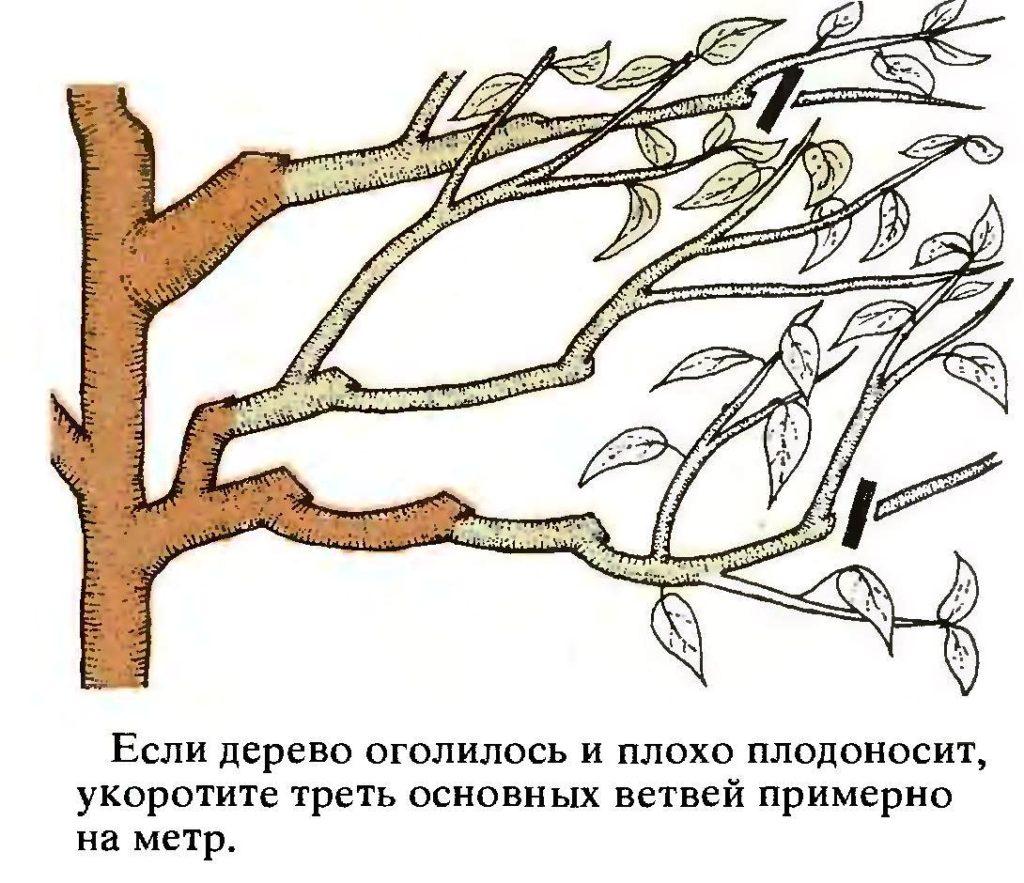Омолаживающая обрезка вишни