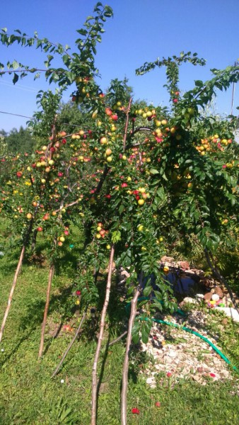 Плодоносящее дерево алычи