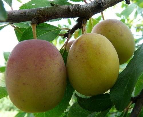 Плоды сливы Память Тимирязева