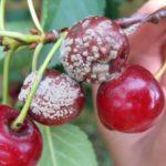 Серая гниль ягод вишни