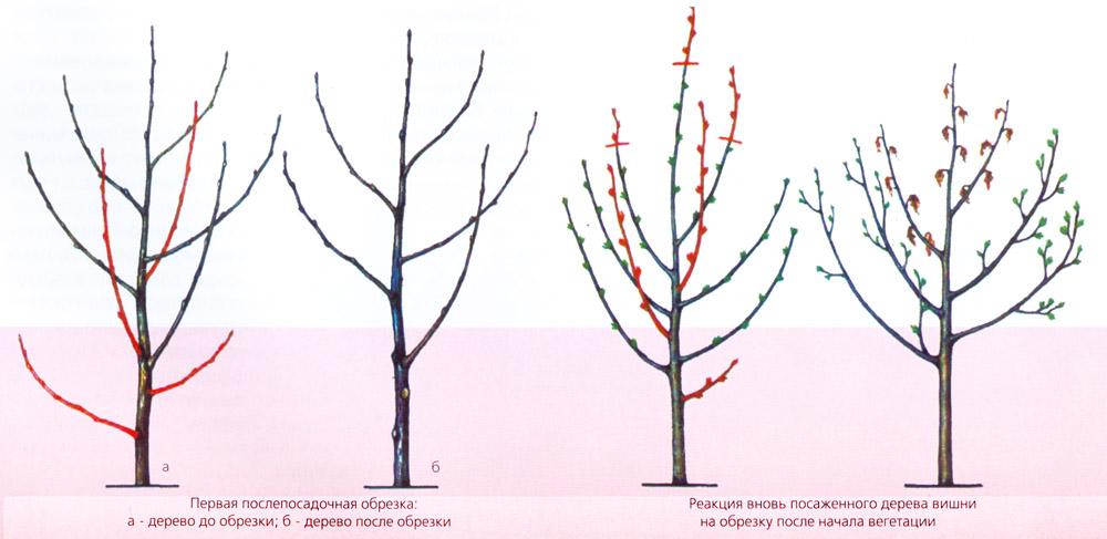 Схема формирования вишни