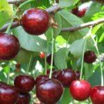 Сорт вишни Мелитопольская радость