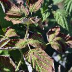 Антракноз на листьях малины