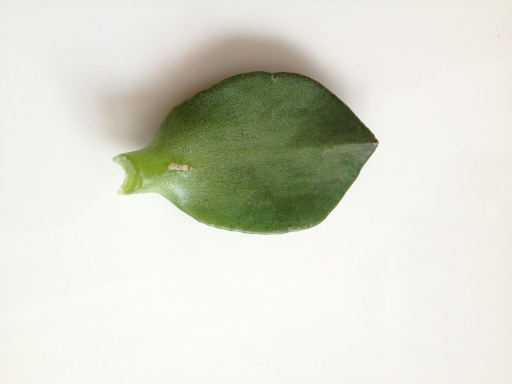 Опавший лист толстянки