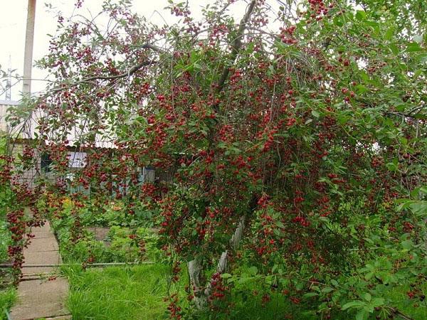 Вишнёвое дерево Любка