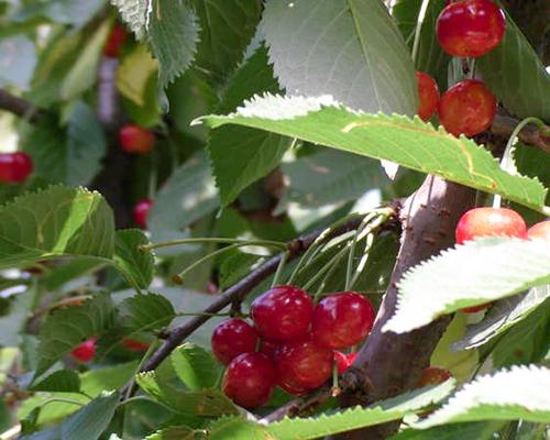 Плоды Брянская розовой черешни