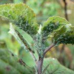 Тля, поразившая листья растения