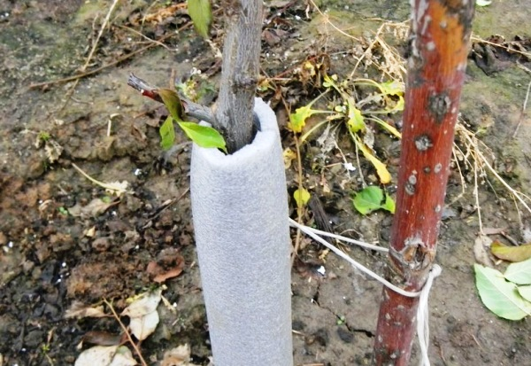 Защита ствола сливы зимой