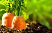 Посев моркови.