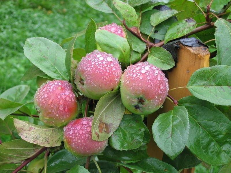 Плодоношение молодых деревьев