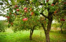 Обрезка яблонь.