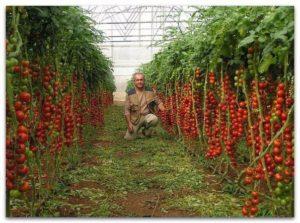 Семь правил большого урожая помидор