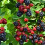 Куст ежевики с ягодами