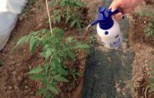 Борьба с фитофторой томатов