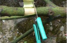 Кольцевание плодовых деревьев