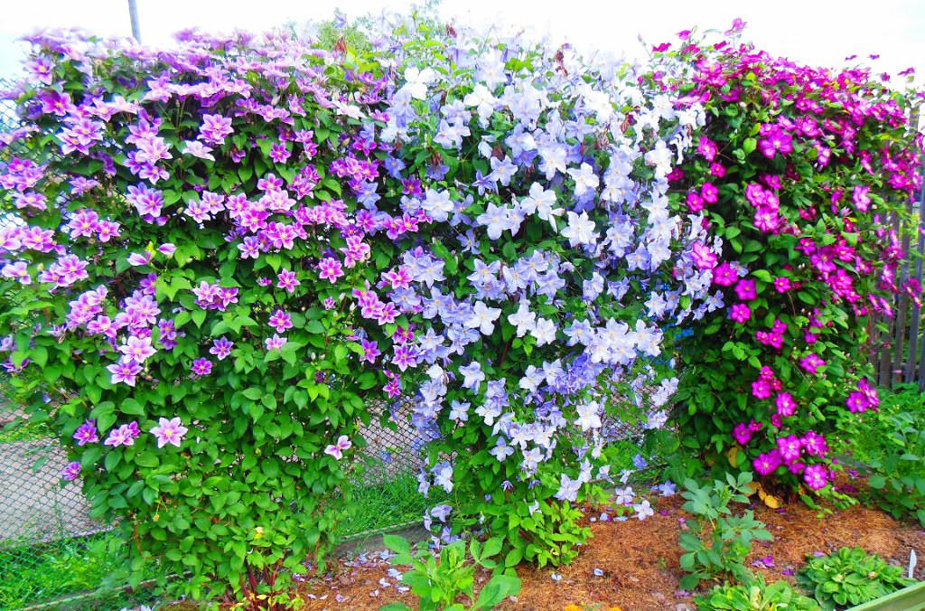 Клематис в период цветения