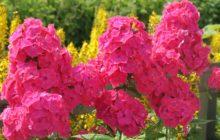 Многолетние флоксы в цвету