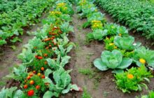 Какие овощи сажать рядом