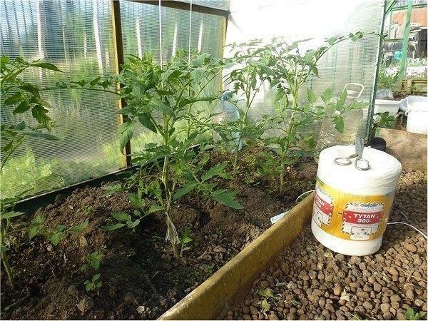 Борьба с вредителями томатов