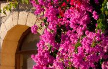 Бугенвиллия в цвету