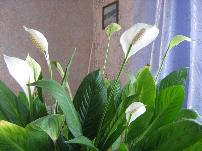 Спатифиллум в период цветения