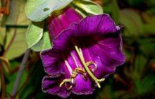 Кобея в период цветения