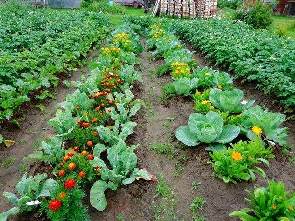 Овощные грядки на огороде