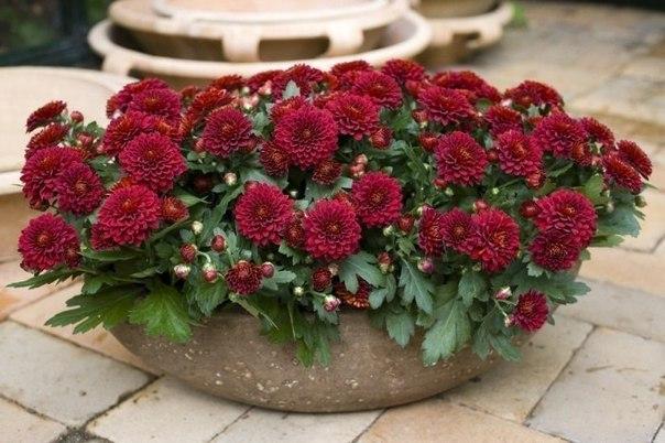 Комнатная хризантема в цвету