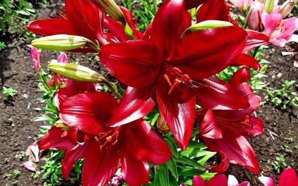 Красный цвет лилии
