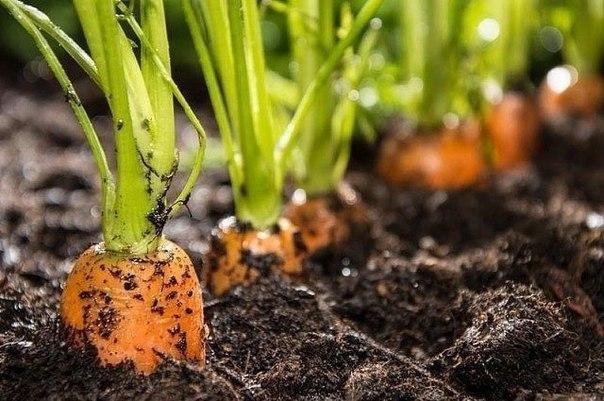 Выращивание крупной моркови