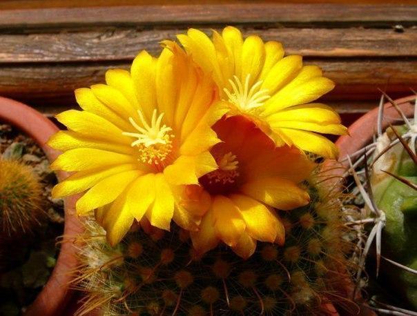 Растение пародия в период цветения
