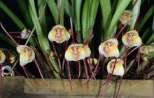 Орхидеи Дракула