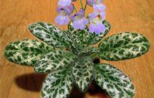 Комнатный цветок из семейства геснериевых