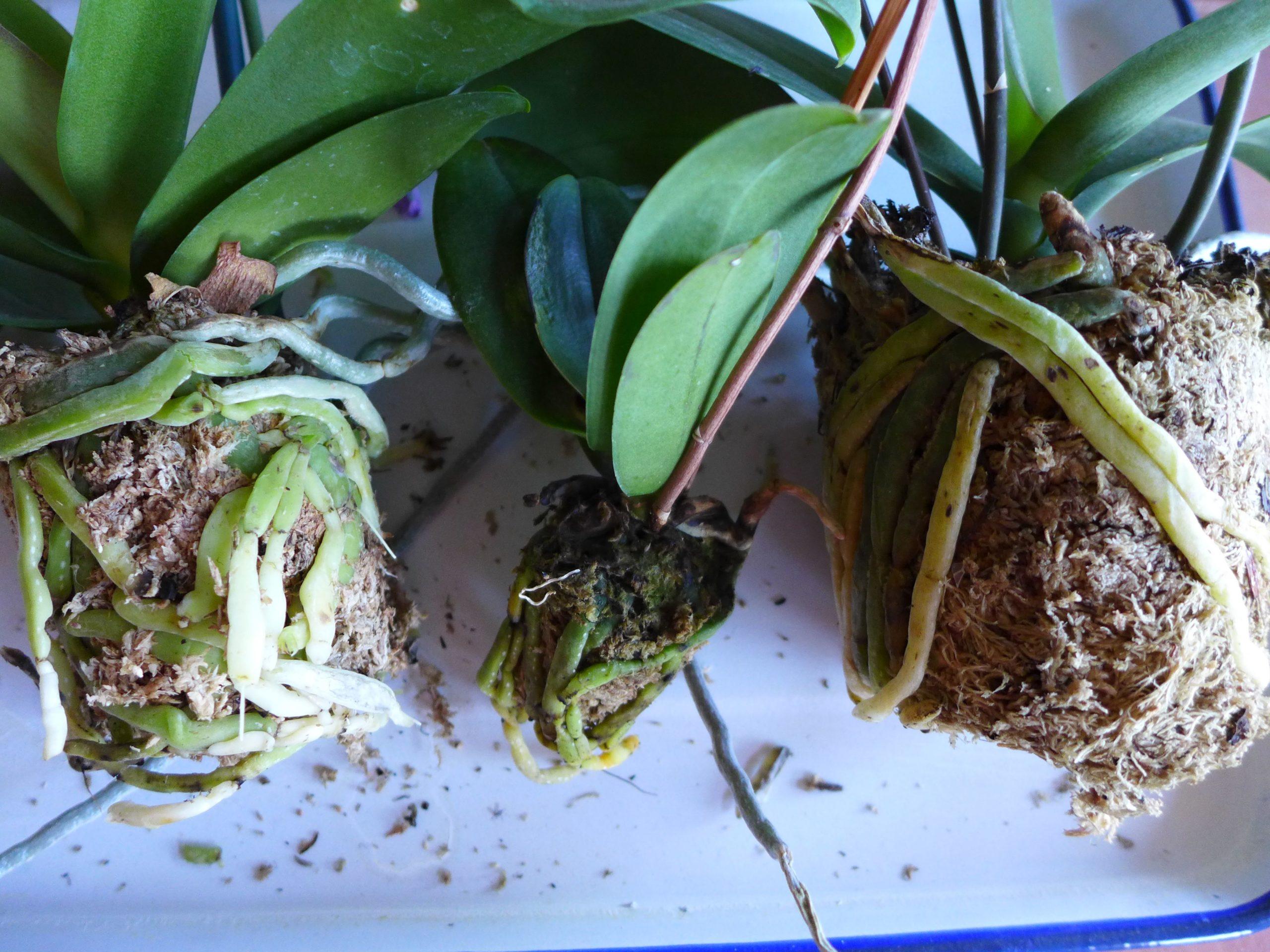 Реанимирование орхидеи