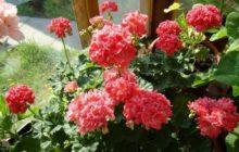 Герань на подоконнике в период цветения