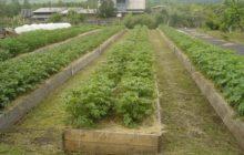 картошка на высоких грядках