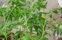 цветут томаты