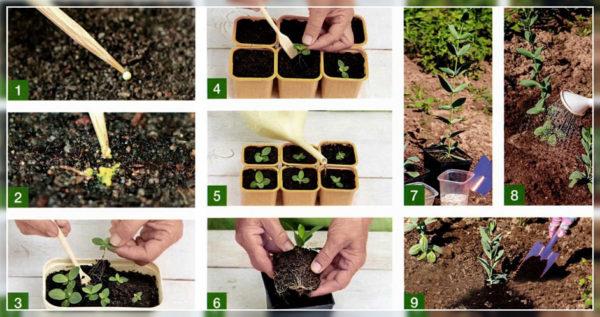 Правила выращивания рассады эустомы из семян