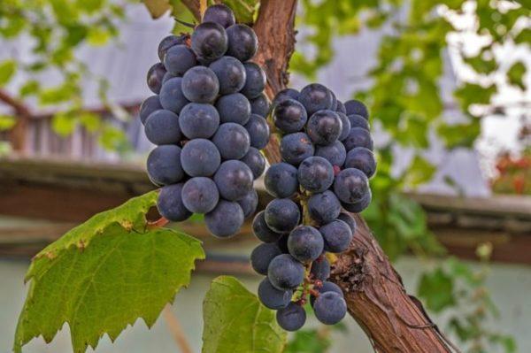 Виноград из черенков в домашних условиях