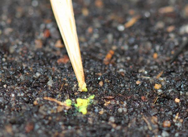 Как проводить высевание семян для получения рассады
