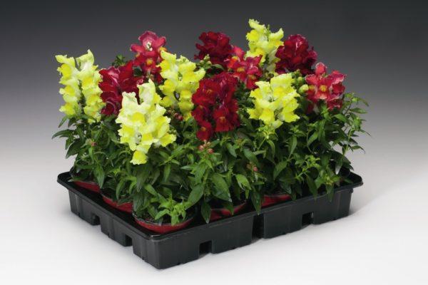 Внешний вид и типы цветка