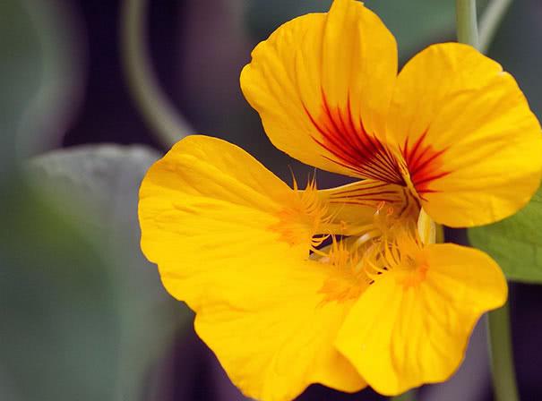Настурция: посадка и уход, выращивание из семян (фото)