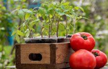 Когда сажать томаты на рассаду в 2019 году по луне